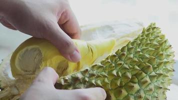 Fresh Durian fruit hand pick up delicious sweet fruit video