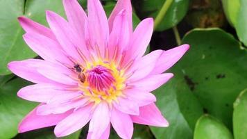 abeja en loto rosa.