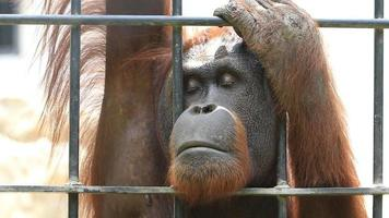 Big Caged Orangutan. video