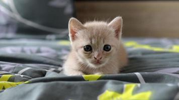 gatito escocés jugando en la cama