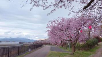 hermoso anochecer y sakura en japón