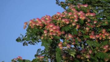árbol de mimosa de chocolate de verano o albizia julibrissin