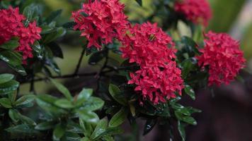 Rubiaceae red flower  wet with rain, 4k video