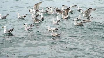 gaivotas estão tentando pegar peixes em câmera lenta