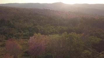 flor de cerejeira selvagem do Himalaia ou flor florescendo da Tailândia de sakura video