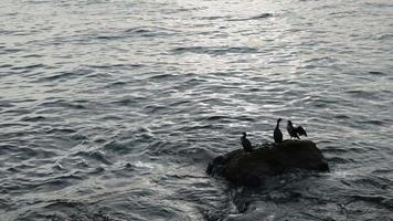 grandes corvos-marinhos estão descansando em uma rocha na praia video