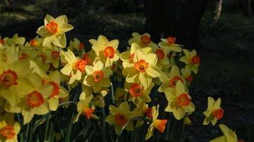 jonquilles jaunes ou fleurs de narcisse se déplaçant avec une brise