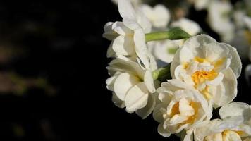jonquilles ou fleurs de narcisse dans un jardin