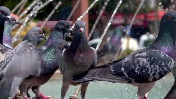 pombos parados ao lado da fonte