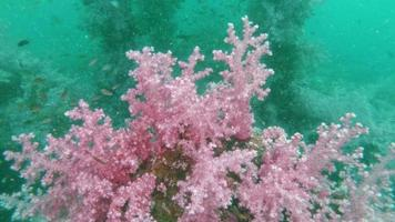 Soft Pink coral growth on Artificial cubic cement reef video