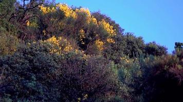flores de vassoura em uma colina video