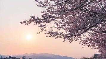 flores de cerezo sakura con el sol