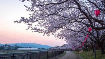flores de cerezo sakura con pasarela