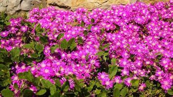 abelhas com flores rosa video