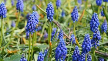 muscari of druivenhyacint met vliegende bijen video