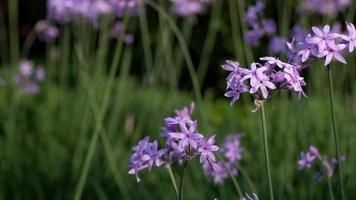 lila Blumen in einem Garten