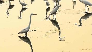 una bandada de garcetas o ardea alba pescando y de pie en un lago