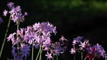 flores roxas em câmera lenta em um jardim ensolarado
