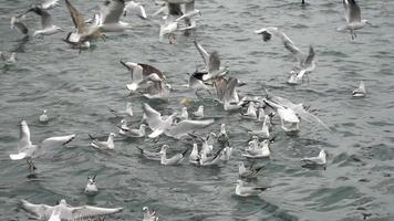 gaivotas estão lutando por comida