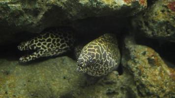 moreia em um recife de coral