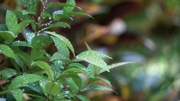 gotas de água nas folhas verdes e o vento sopra em câmera lenta
