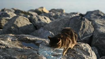Cute Cat is Drinking Water  Outside on the Rocks