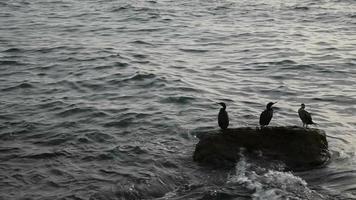 grandes corvos-marinhos descansando em uma rocha no mar video