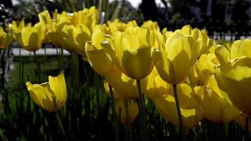 tulipas amarelas balançando com o vento no jardim video