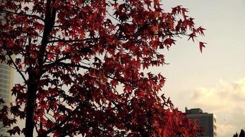 Arce japonés en Estambul durante el otoño