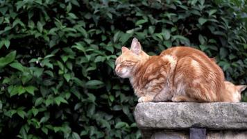 Ginger Cats Are Napping on A Garden Wall video