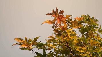 hojas de otoño en la cima de un árbol