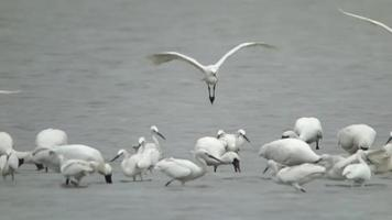 Tundra Swans Flying and Standing Over the Water Surface video