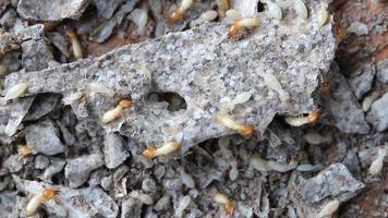 macro de termitas u hormigas blancas