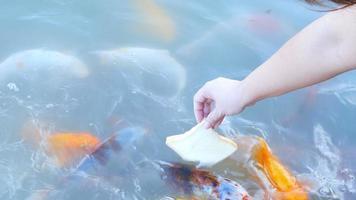la señora está alimentando pan a los peces carpa