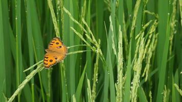 borboleta em planta de arroz verde fresco