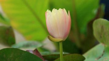 time-lapse en real-time close-up van roze gele lotus. video