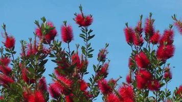 flores vermelhas e céu azul video