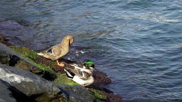 patos-reais à beira-mar