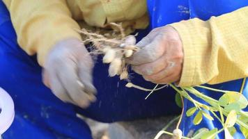 Close up of Peanut Farm Worker Hands