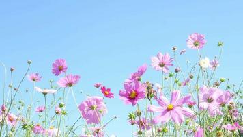 lindas flores roxas do cosmos video