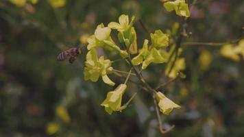 miel de abeja volando alrededor de la flor de colza