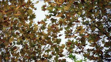 Platanen im Herbst video