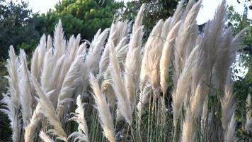 erba della pampa o cortaderia selloana al rallentatore