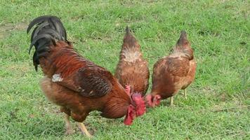 o galo e as galinhas comem comida.