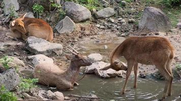 Three deer rest in the forest.