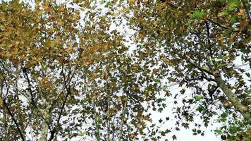 plátanos com folhas de outono video