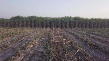 zoom in op suikerrietveld