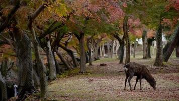 ciervo del parque nara