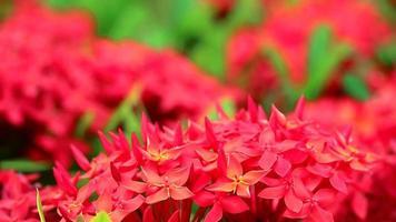 flores ixora vermelhas e folhas verdes