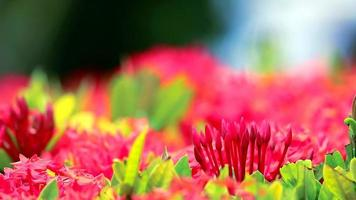 flores ixora vermelhas no jardim